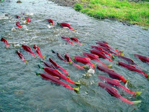 На Камчатке увеличился ход лососей — Росрыболовство. рыбы, лосось, рыболовство, Камчатка
