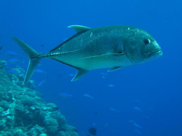 Тунец может уйти вместе с доходами. рыбы, тунец, Тихий океан