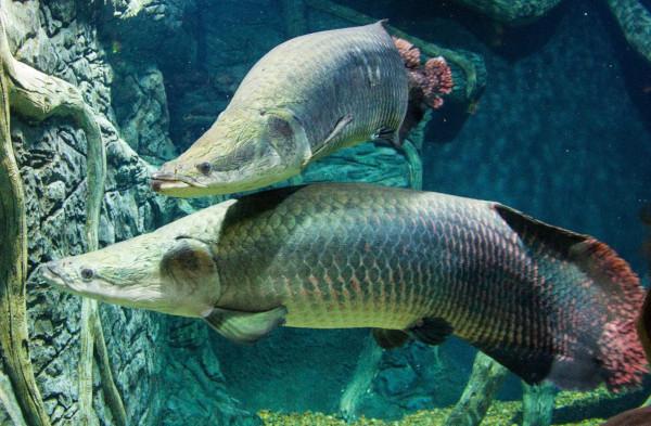 Чучело гигантской рыбы покажут посетителям Дарвиновского музея. рыбы, арапайма, чучело, музей,  Дарвиновский музея