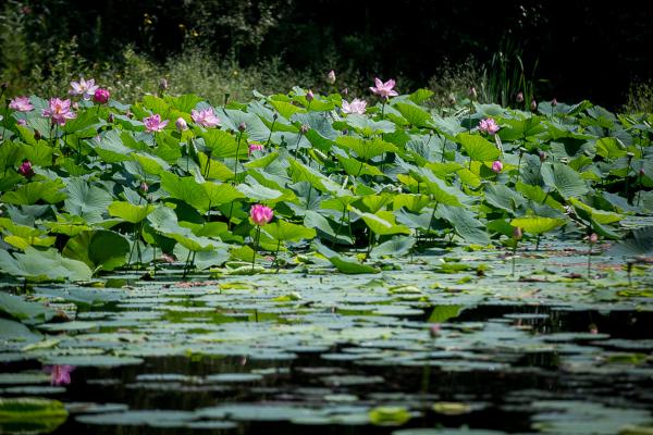 В пригороде Владивостока гибнет озеро лотосов. экология, водоем, озеро, лотосы, Владивосток