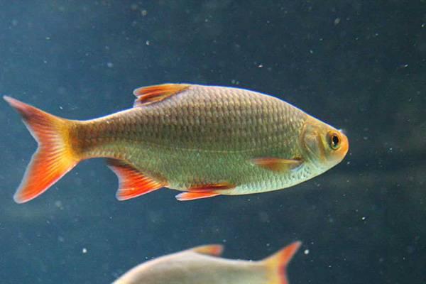 Рыба с оранжевым взглядом. 14282.jpeg