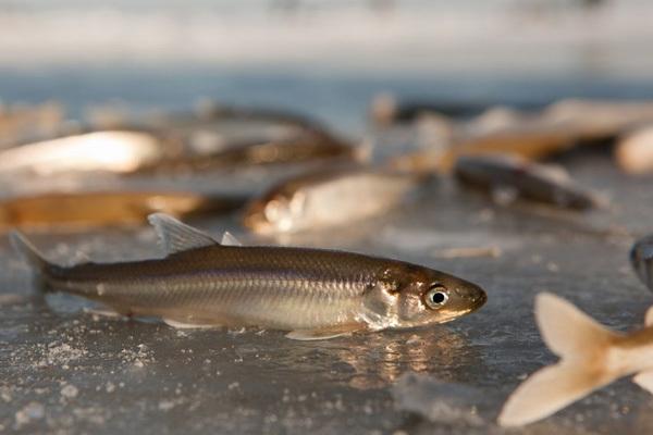 Рыбка-космополит. 14286.jpeg