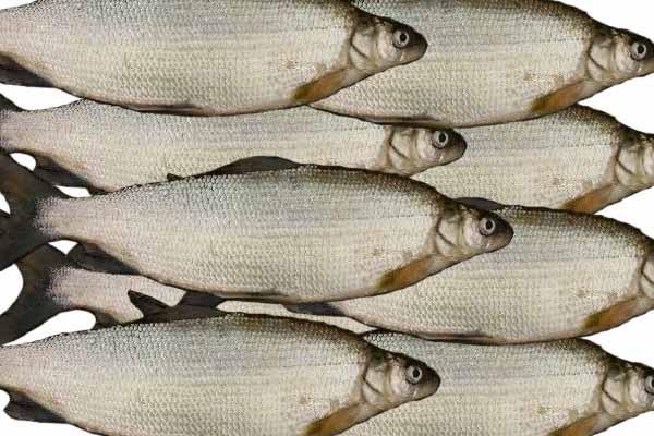 Очень осторожная рыба. 14287.jpeg