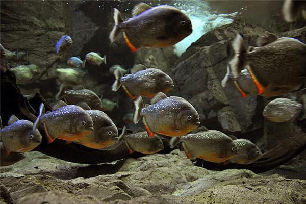 Рыбы-убийцы - пираньи. 14288.jpeg