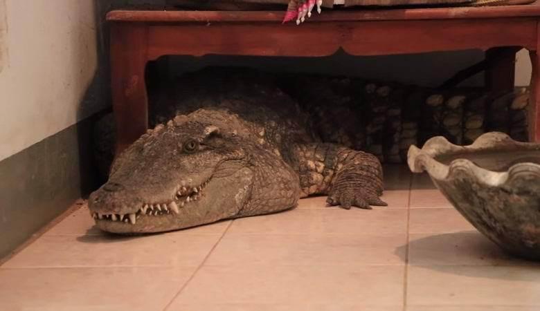 Таитянин Канатип Натип держит крокодила вместо собаки. 14294.jpeg