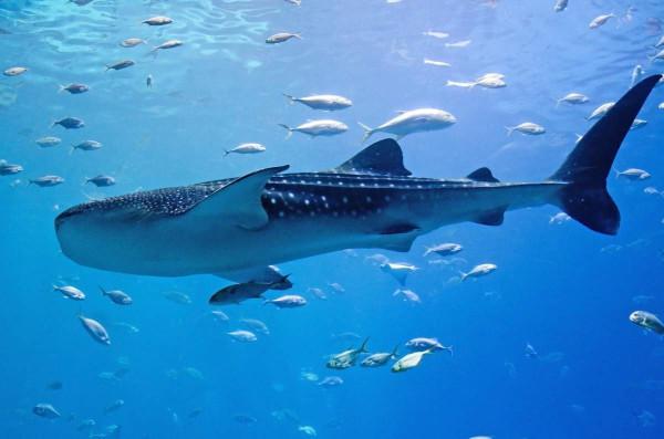 Израильские экологи впервые за год заметили китовых акул в Красном море. рыбы, акула, экология, Израиль, Красное море