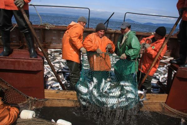 Более 268 тысяч тонн лосося добыли рыбопромышленники Камчатки с начала путины. рыба, лосось, путина, Камчатский край