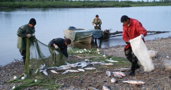 Калымчанина оштрафовали на 5 тысяч рублей за вылов рыбы без разрешения. рыба, лосось, улов, штраф, Калыма