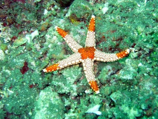 Человеческая любовь вызывает чувство голода у морских звезд. океан, ученые, исследование, морские звезды, гормон окситоцин
