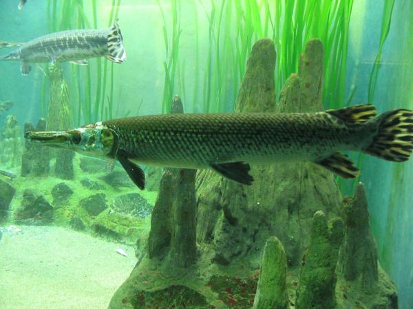 Изучение древней рыбы создаст метод восстановления конечностей у людей.. биологи, рыбы, древняя рыба, щуки, конечности, лечение