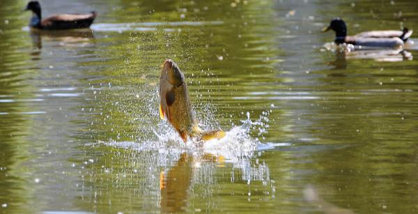 Массовый «прыжок веры» карпов из озера попал на видео. рыбы, карпы, озеро, прыжок