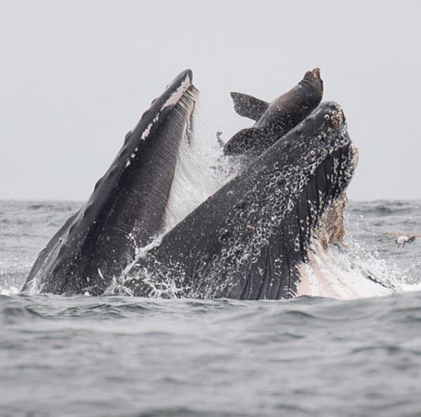 Кит почти проглотил морского льва. океан, кит, морской лев, Монтерей, Калифорния