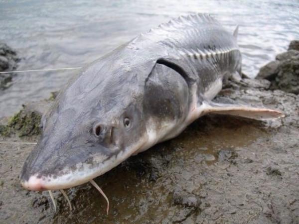 Приобретение осетра обернулось обязательными работами для жителя Дудинки. рыба, рыбалка, осетр, суд, Норильск