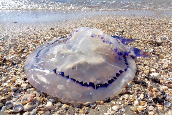 На пляжи Геническа море выбрасывает сотни медуз. экология, Азовское море, пляж, медузы