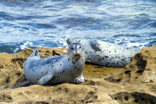 Ученые выяснили, что морские леопарды делятся друг с другом едой. море, морские леопарды, ученые, еда