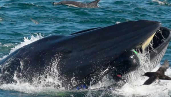 Кит перепутал дайвера с едой и проглотил его, но потом передумал и выплюнул. кит, дайвер, еда, Южная Африка