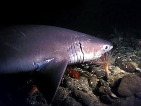 Древнюю акулу удалось записать на видео. древняя акула, морские обитатели