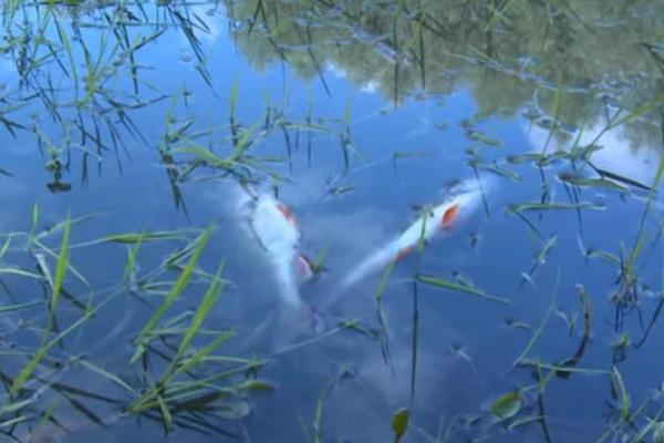 В МЧС Башкирии подтвердили массовую гибель рыбы на озере. экология, рыба, озеро, село Толбаза, МЧС
