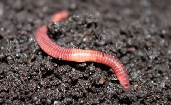 Самостоятельное выращивание червей для рыбалки. (Часть1). 15340.jpeg