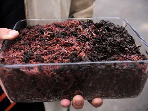 Самостоятельное выращивание червей для рыбалки. (Часть 2). 15341.jpeg