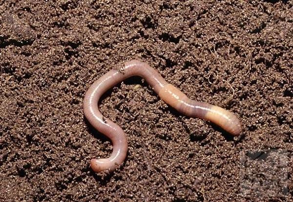 Самостоятельное выращивание червей для рыбалки. (Часть 3). 15342.jpeg