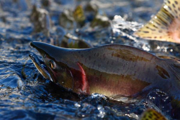 Климатические изменения оказались полезны длягорбуши. рыба, горбуша, климат, Камчатка