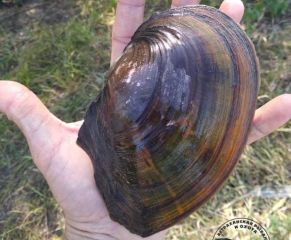 В Астраханской области поймали моллюска-гиганта. рыба, рыбалка, рыбак, моллюск, Астрахань