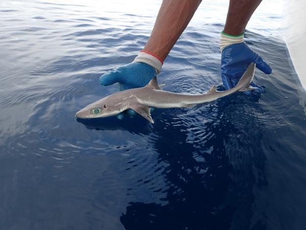 Биологи нашли самую маленькую акулу в мире. ученые, биологи, акула