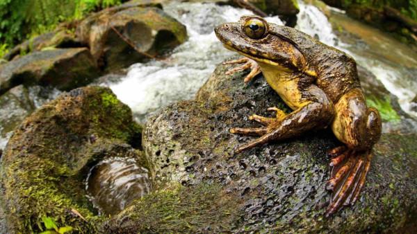 Гигантские лягушки самостоятельно создают пруды для потомства. животные, рептилии, лягушка, голиаф, пруды