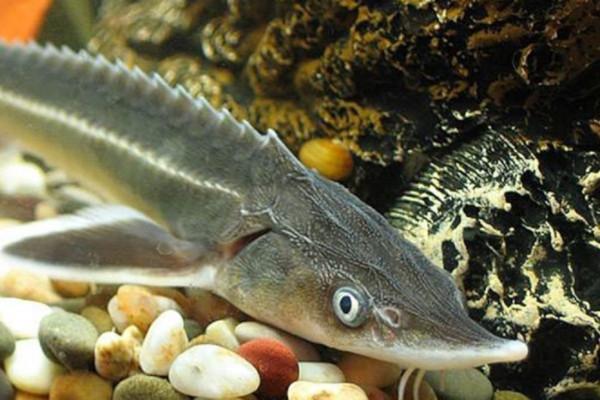 За два десятка рыб из Красной книги нижневартовским браконьерам выписали штраф в полтора миллиона рублей. рыба, рыбаки, осетры, стерляди, штраф, Нижневартовск