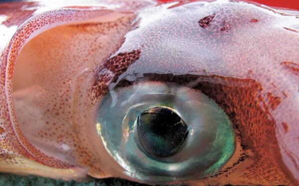 Что общего между ногами человека и глазами кальмара?. рыбы, кальмары, глаз, нога, человек, ученые, биологи