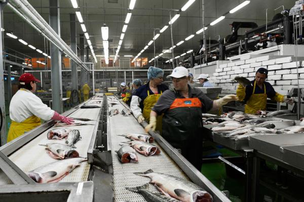 На каждом втором рыбном предприятии Петербурга нашли нарушения. рыба, рыбные предприятия, Петербург