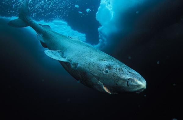 В Гренландии нашли 500-летнюю акулу. ученые, акула, Гренландия