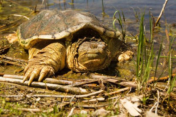 Сердца черепах могут адаптироваться, чтобы выжить без кислорода. черепаха, сердце, кислород