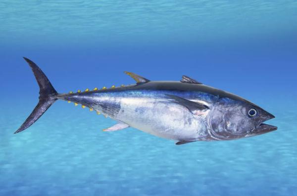 В Японии резко упал спрос на любимый деликатес жителей страны. рыба, тунец, Япония