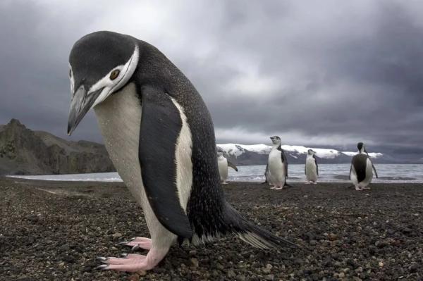 В Новой Зеландии нашли останки гигантского пингвина. скелет, пингвин, Новая Зеландия