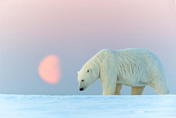 Потепление на Аляске изменило график миграции белых медведей. море, ледники, Аляска, глобальное потепление, медведи