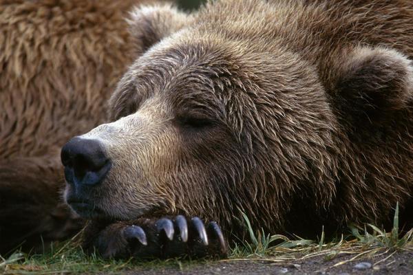В Талине усыпили больного медведя. 14405.jpeg