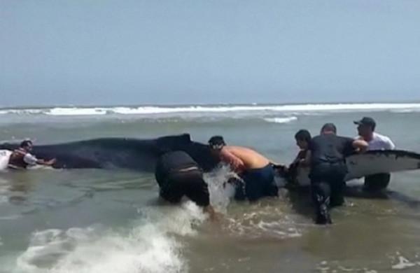 Жители Перу спасли выброшенного наберег кита. море, кит, Перу
