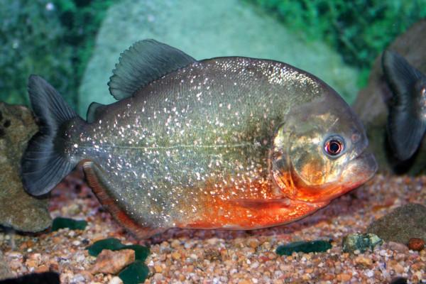 В Псковской области поймали пиранью в местном пруду. рыба, пруд, пиранья, Псковская область
