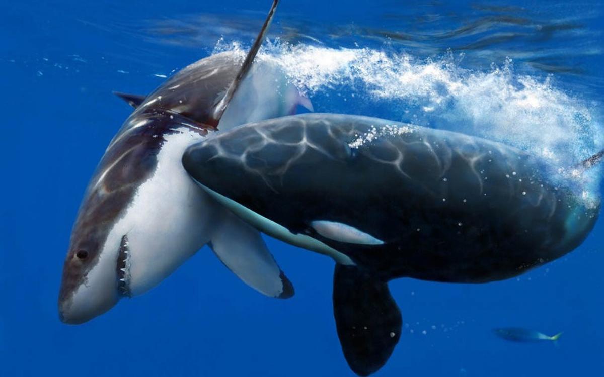 Ученые: белые акулы боятся косаток. акулы