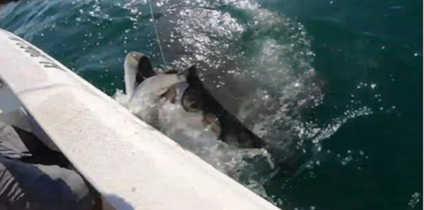 Акула украла добычу у рыбака из рук (видео). рыба, рыбак, акула, Флорида