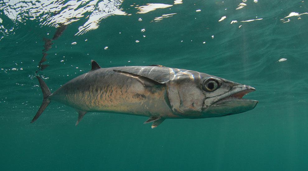 В Австралии крупная макрель плавником порезала шею рыбачке. 13449.jpeg