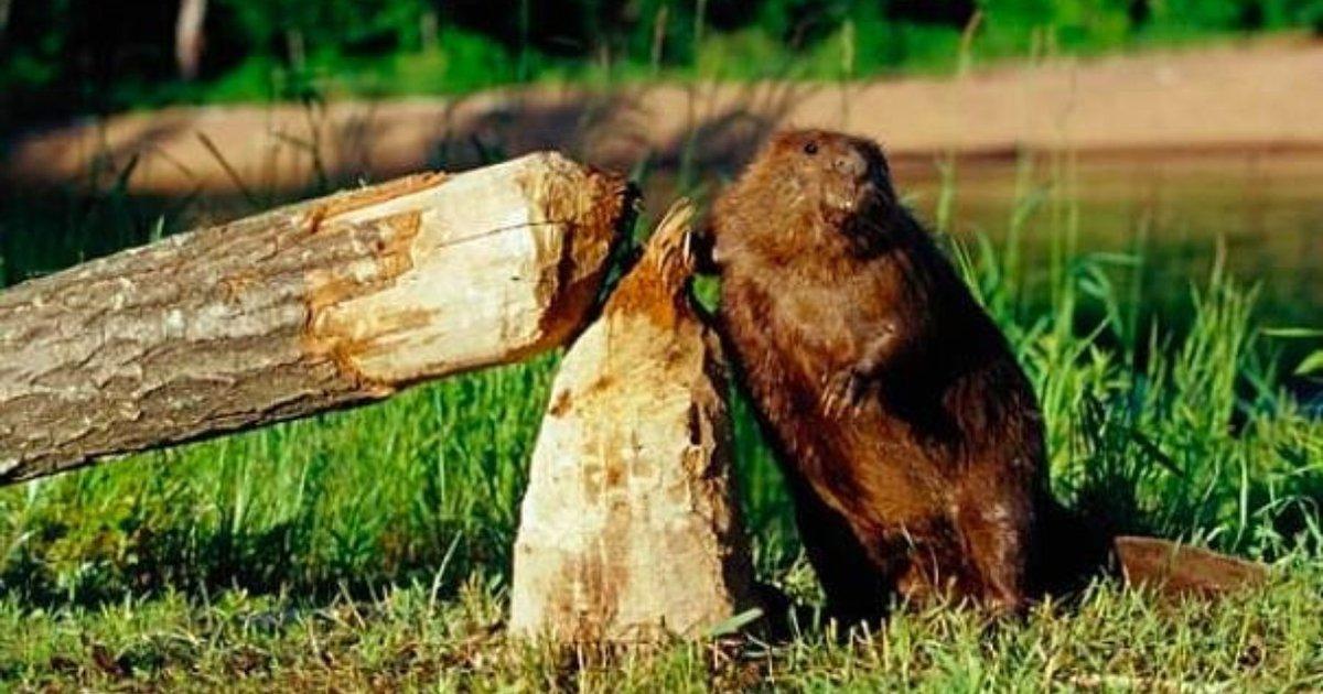 Бобры наломали дров в электрохозяйстве компания