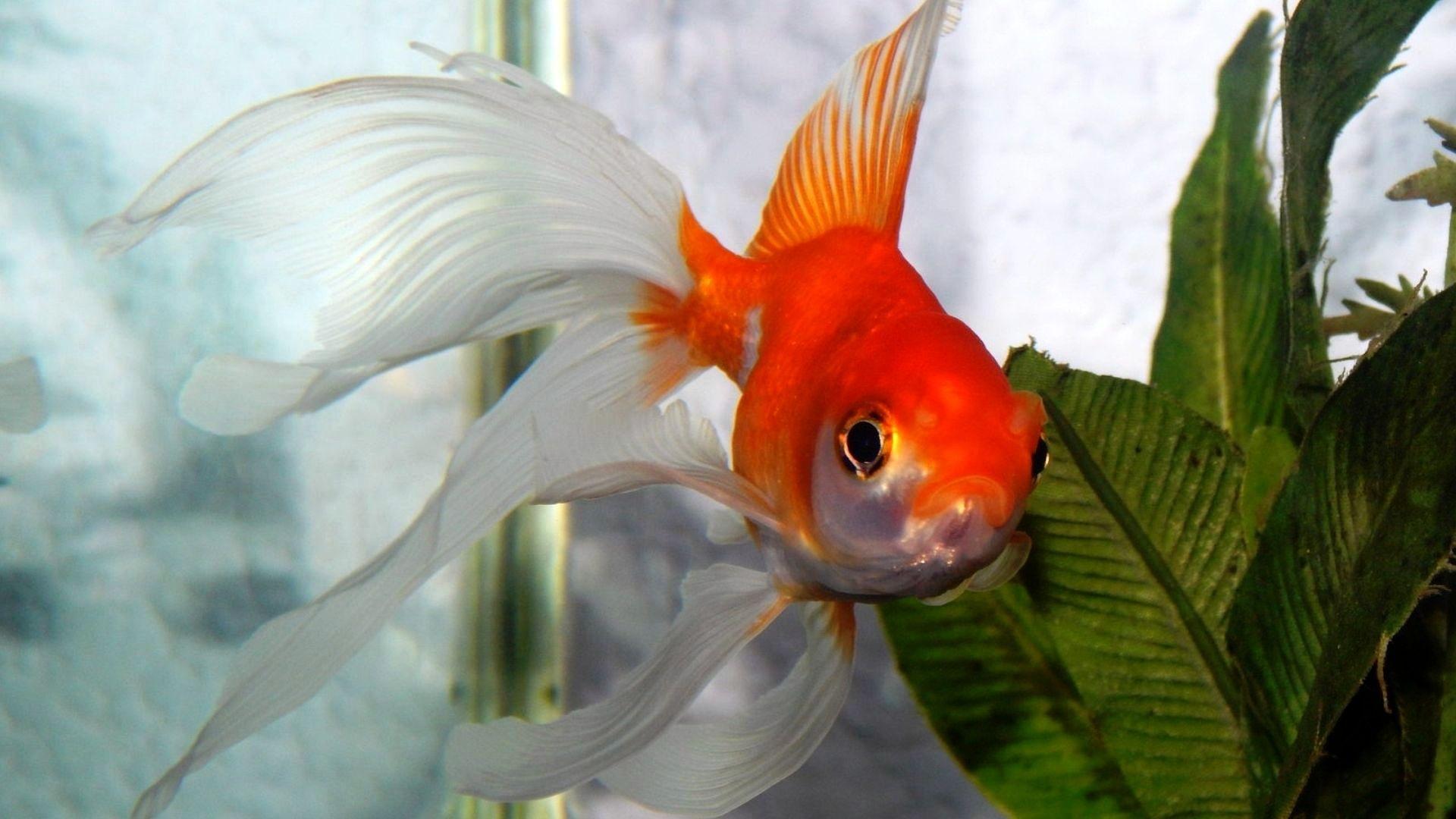 Золотые рыбки объявлены врагами природы. рыбка