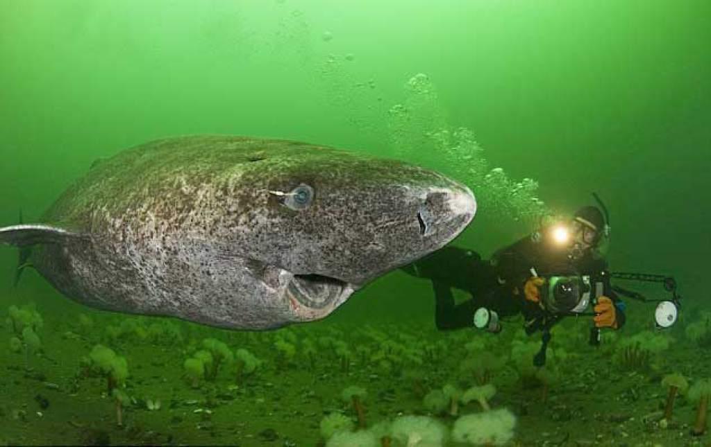 В Северной Атлантике поймали самого старого долгожителя. акула