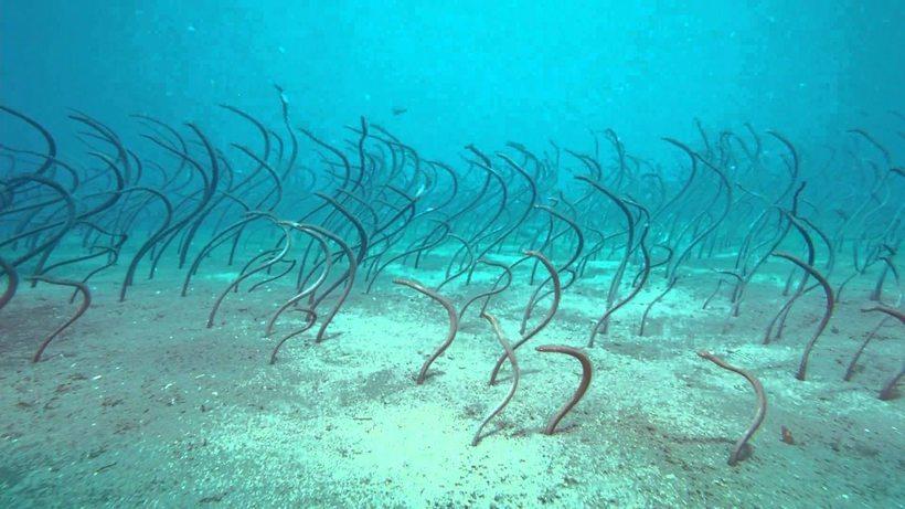 В Красном море нашли угрей-«водорослей». угри