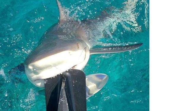 Лимонная акула хотела оторвать мотор у лодки. 13470.jpeg