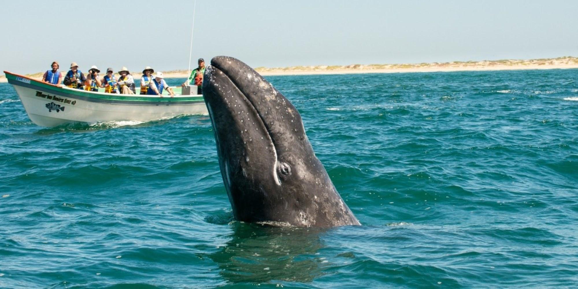 В Тихом океане киты умирают от голода. кит