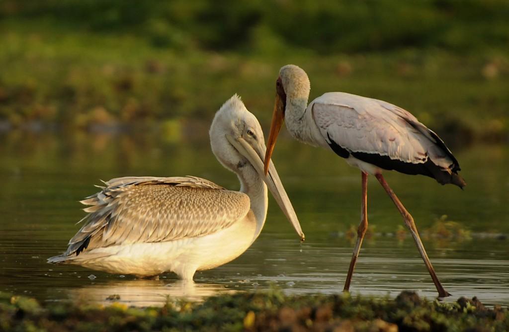 Птицы заражают рыбу не известные раньше болезнями. 13472.jpeg